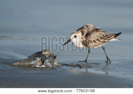 Sanderling (caladris Alba) In A Protective Posture Guarding Its Fish
