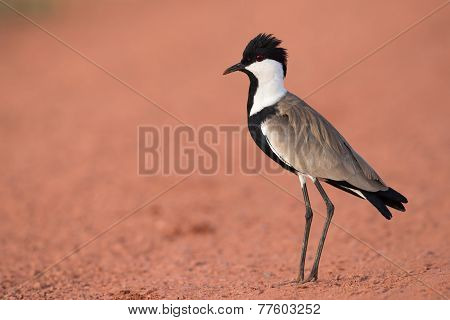 Spur-winged Lapwing (vanellus Spinosus) Standing On A Red Dirt Road