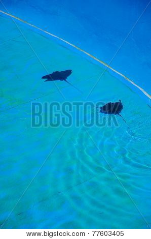 Two Stingrays Swimming In Blue Pool