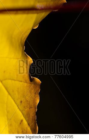 Nature Abstract - Crisp Edge Of A Golden Autumn Leaf