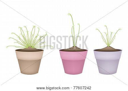 Three Cyperus Papyrus Plant in Ceramic Flower Pots