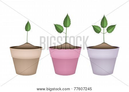 Three Green Trees in Terracotta Flower Pots