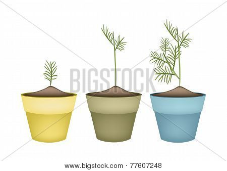 Three Green Dills in Terracotta Flower Pots