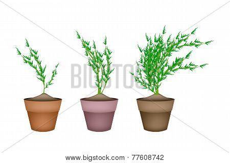 Fresh Carrot Trees in Ceramic Flower Pots