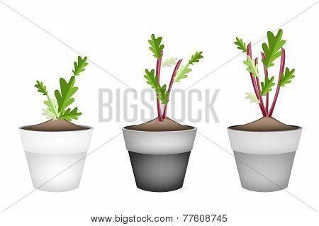Radish Or Beet Plant in Ceramic Flower Pots