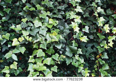 Wall Of Green Ivy Leaves