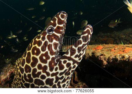 Honeycomb Moray Eel portrait