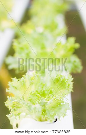 Frillice Iceberg Plants On Hydrophonic Farm