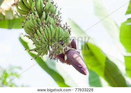 Banana flower and bunch of banana