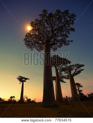 Baobab trees at sunset. Madagascar