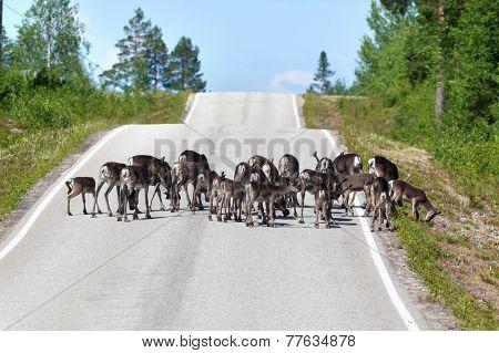 Reindeer Herd Crossing Country Road In Lapland