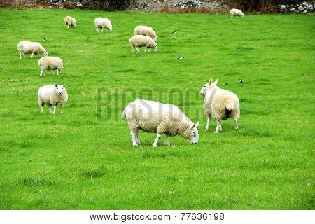 Beautiful Irish Sheeps, Ireland