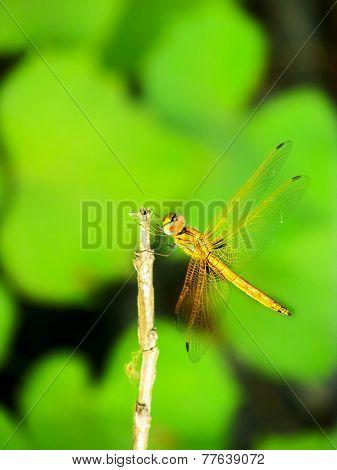 Dragonfly Sitting On A Twig Having Sunbath