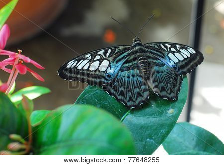 Blue White Violet Clipper Parthenos Sylvia Butterfly Insect
