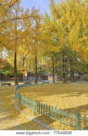 Autumn foliage - Ginkgo Trees in yellow autumn colors
