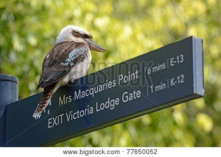 Australian Kookaburra bird in Sydney Botanic Gardens