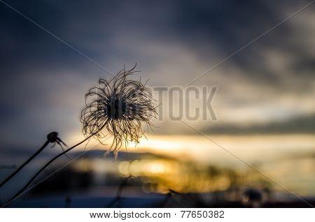 Bloom in sundown