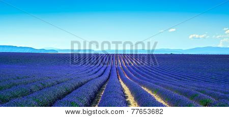 Lavender Flower Blooming Fields Endless Rows. Panoramic View Valensole Provence