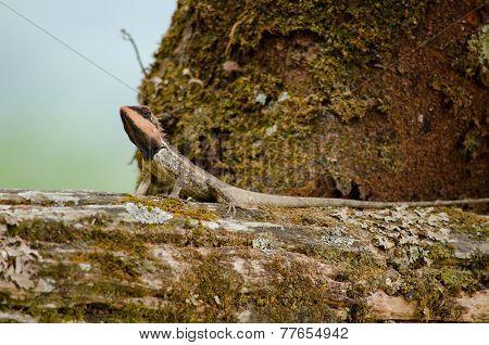 Orangr Spiny Lizard