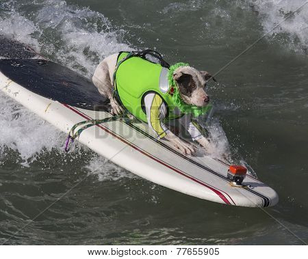 Surfing Pitbull