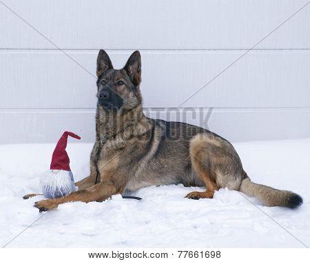 German Shepard on the snowy ground.