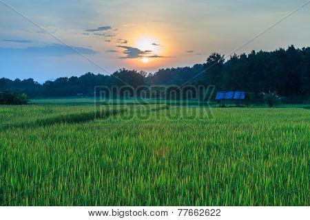Paddy Field With The Last Light Of Sunset.
