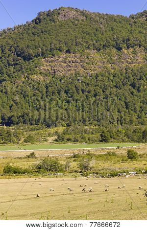 Sheep Grazing In Araucania, Chile