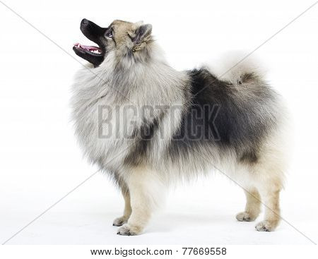 dog breed Keeshond on a white background