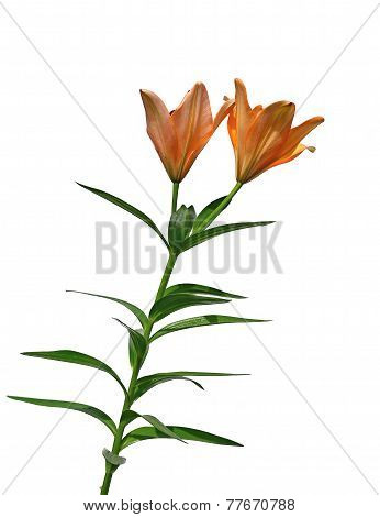 Yellow Lily Flower Isolated