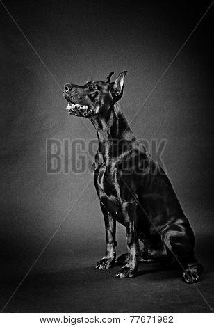 dog breeds Doberman Pinscher on a black background