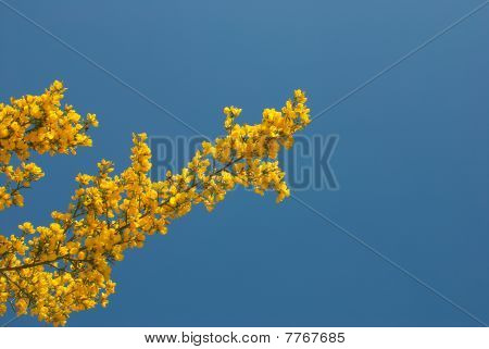 Flowering  broom branch