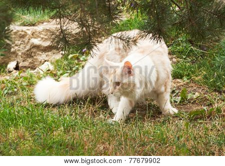 Maine Coon Hunting