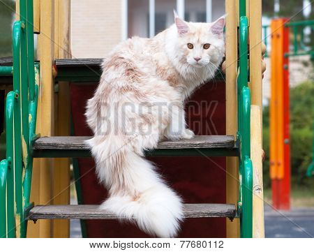 Maine Coon On Stair