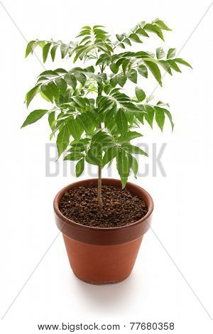 curry tree in clay pot isolated on white background