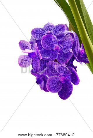 Violet Orchid On White Background