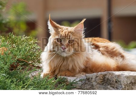 Red Maine Coon Cat Portrait