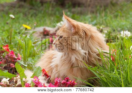 Maine Coon Cat Lying On Flowerbed