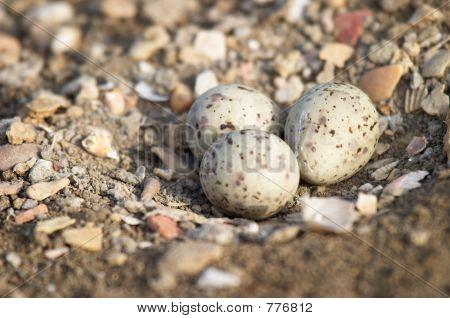 Eggs of winch ( himantopus himantopus )