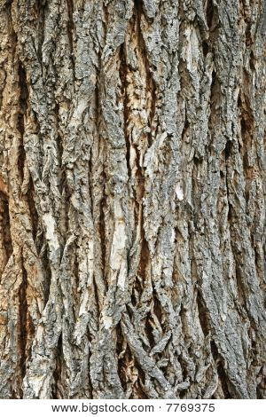 Rough Cottonwood Bark