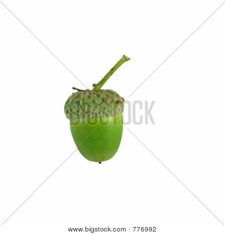 acorn on white background