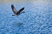 stock photo of canada goose  - Canada Goose Flying Over the Blue Lake Water - JPG