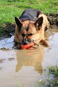 picture of alsatian  - German Shepherd dog - JPG