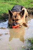 foto of alsatian  - German Shepherd dog - JPG