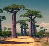 stock photo of baobab  - Rural african road among baobab trees - JPG