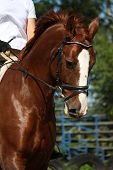 stock photo of bridle  - Portrait of chestnut sport horse with bridle - JPG