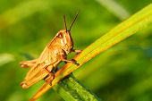 picture of cricket insect  - The representative of a species of insects close up in a green grass - JPG