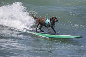 stock photo of chocolate lab  - Chocolate Labrador Retriever surfing on a wave at the beach - JPG