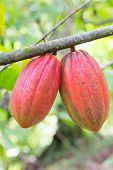 picture of cocoa beans  - Ripe cocoa beans on the tree - JPG