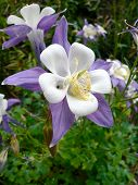 stock photo of columbine  - two columbine flowers with outer purple leaves and inner white leaves - JPG