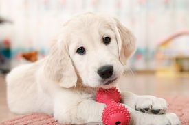 image of toy dogs  - labrador retriever puppy playing with toy at room - JPG
